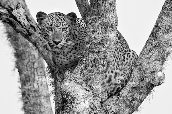 leopard-at-yala