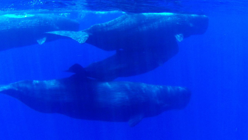 Sperm Whale in Trinco