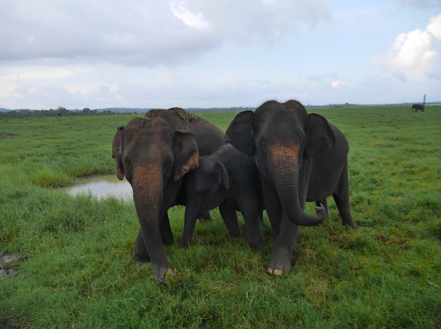 Charged By A Herd Of Wild Elephants In Kaudulla National Park – Leif Harum